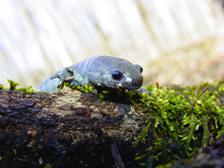 smallmouth salamander for GB