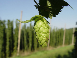 Hop flower closeup