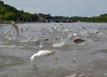 asian carp 2 for GB