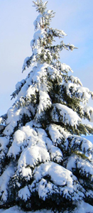 blue spruce for GB