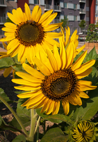 urban farming sunflowers
