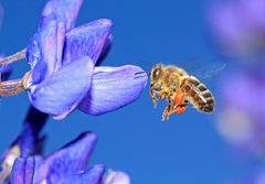 bee on blue lupine