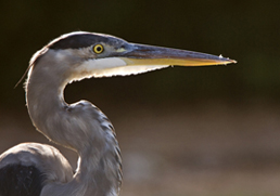 great blue heron at wetland for GB