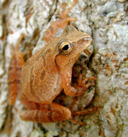 spring peeper for GB