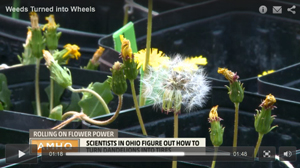 Dandelion video image