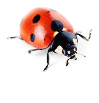 lady beetle image