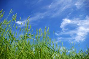 wheat field image 4
