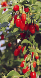 image of goji berries