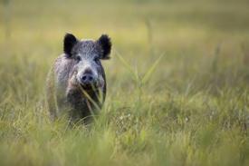 image of single feral swine in field 2