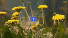 dandelion video for GB