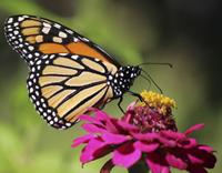 monarch on flower 2