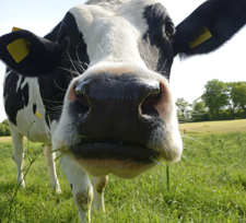 picture of curious dairy cow
