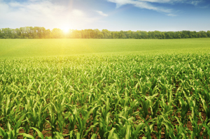 picture of healthy corn field
