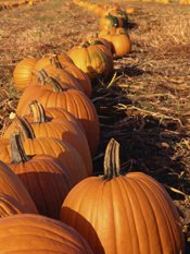 picture of pumpkins in field