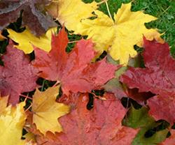 autumn-maple-leaves