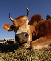 picture of cow in pasture