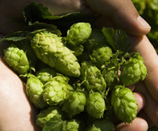 picture of hops in hand
