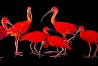 Joel Sartore Scarlet Ibises