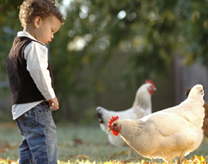 Raising Poultry in the City