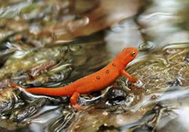 Saving salamanders