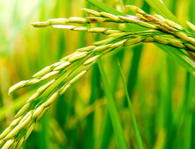 Transgenes and rice