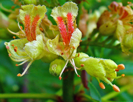 Ohio buckeye flowers 4