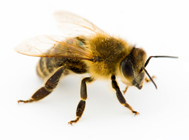 Bee populations down