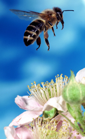 Helping pollinators