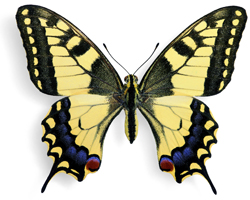 Picture of swallowtail butterfly