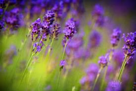 Farm tour features growing lavender