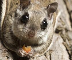 FSR talk on flying squirrels
