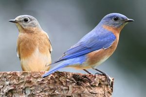 How to attract bluebirds 4