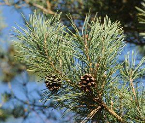 Secrest Arboretum evergreens