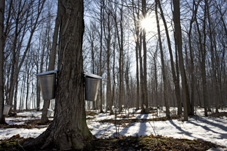 Photo of maple trees with taps 2
