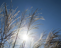 Photo of miscanthus grass 2