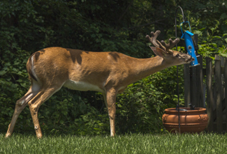 Image of deer eating birdseed