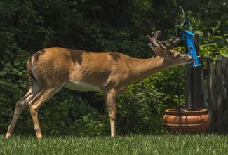 Image of deer eating birdseed