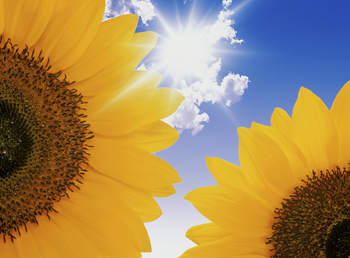 Image of sunshine and two sunflowers_3