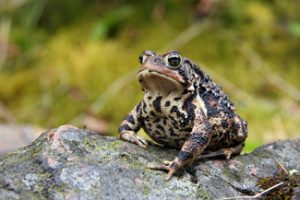 Image of American toad 2