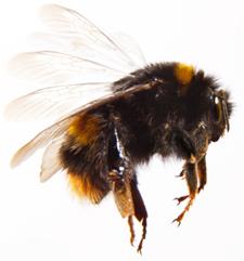 Image of bumblebee 2