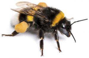 Image of bumblebee