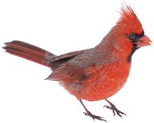 Image of cardinal 2