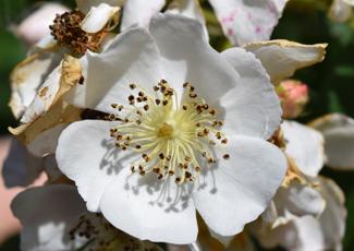 Image of multiflora rose