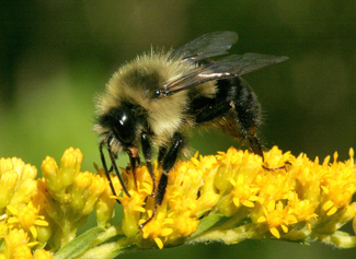 Image of bumble bee 2