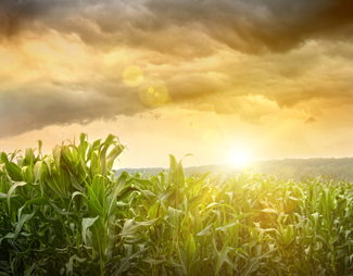 Dark skies looming over corn fields