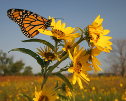 Monarch Butterfly on Prairie