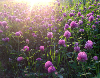 Red clover in the evening
