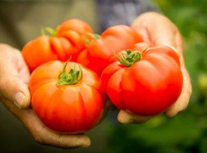 Tomato in gardener's hands