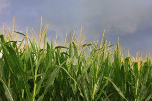 Corn Tassels Up Close in an Iowa Field