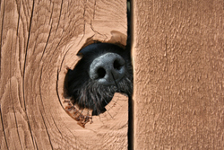 Black dog's nose poking through a hole in the fence